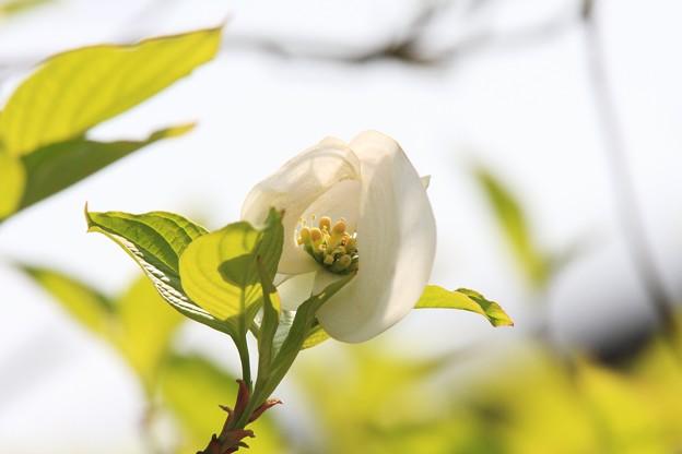 2013.04.23 和泉川 ハナミズキ 綿帽子