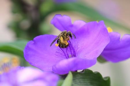 2013.05.25 和泉川 ムラサキツユクサに花蜂