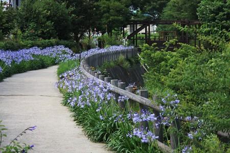 2013.06.28 和泉川 アガパンサス咲く散歩道