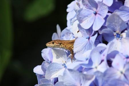 2013.06.28 和泉川 アジサイからニホンカナヘビ