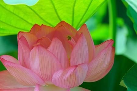 2013.07.10 大船植物園 ハスにミツバチ
