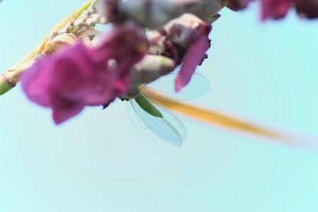 2013.07.12 和泉川 ミズカンナにアミメクサカゲロウ