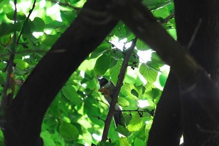 2013.07.14 和泉川 ヒメコウゾにオナガ 幼鳥