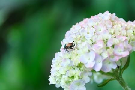 2013.07.15 和泉川 アジサイにマメコガネ