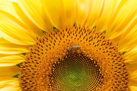 2013.07.15 和泉川 ヒマワリにミツバチ