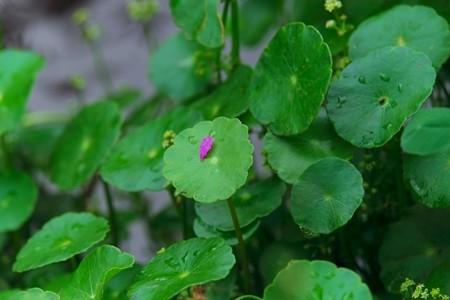 2013.07.17 和泉川 ウチワゼニクサの葉へエゾミソハギ花弁 紅一点