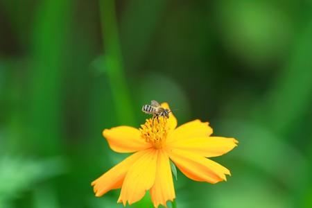2013.08.02 和泉川 キバナコスモスに青目のミツバチ
