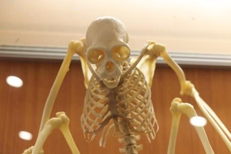 2013.08.04 ナイトズーラシア ころこロッジの動物の骨格標本 猿