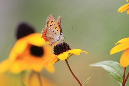 2013.08.22 和泉川 アラゲハンゴンソウにベニシジミ