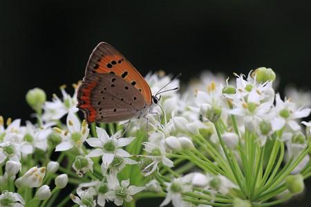 2013.09.16 追分市民の森 ニラにベニシジミ