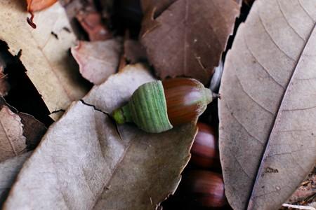 2013.11.10 追分市民の森 団栗の木の下