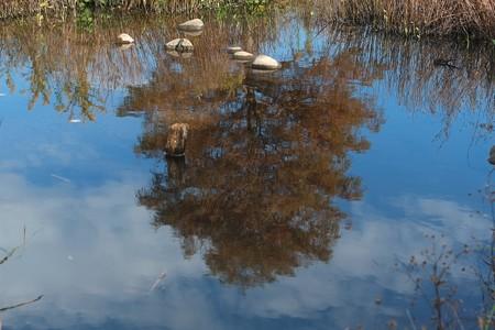2013.11.19 和泉川 ガマの水溜りにラクウショウと空
