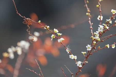 2014.01.04 和泉川 ユキヤナギ