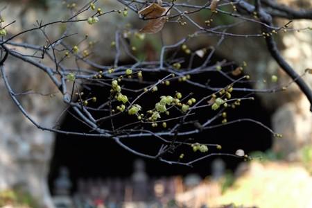 2014.01.22 鎌倉 報国寺 ロウバイの向こうにやぐら