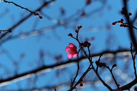 2014.01.23 和泉川 コウバイ