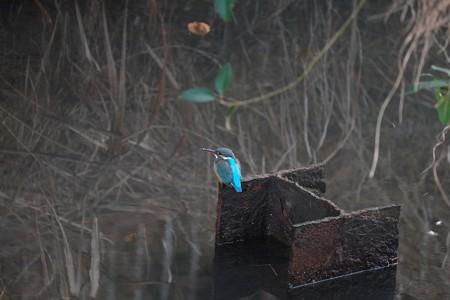 2014.01.26 和泉川 カワセミ 廃墟