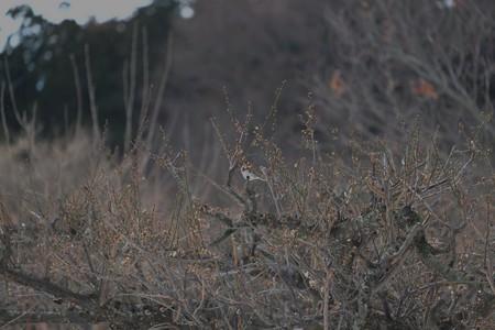2014.02.11 追分市民の森 ウメにカシラダカ