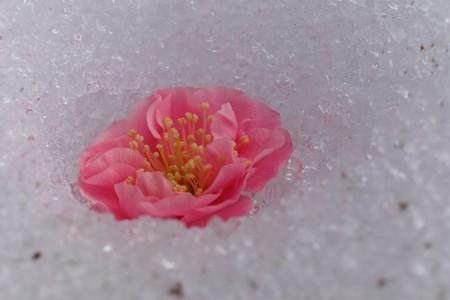 2014.02.24 大池公園 ウメ 9日前の雪