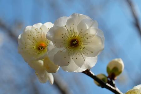 2014.02.24 大池公園 ハクバイ