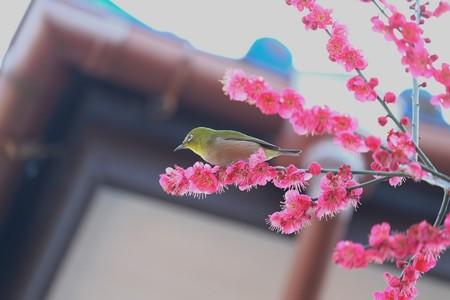 2014.02.25 和泉川 軒下の梅にメジロ