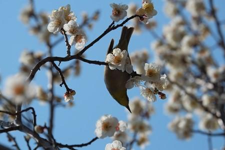 2014.03.09 和泉川 ウメ