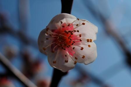 2014.03.12 和泉川 ウメ