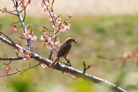 2014.03.17 和泉川 カワズザクラとモズ 冬から春 出逢い