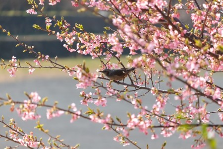 2014.03.17 和泉川 カワズザクラにヒヨドリ