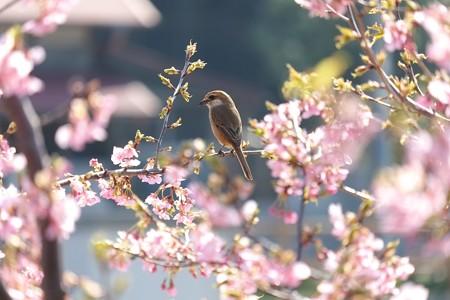 2014.03.17 和泉川 カワズザクラへモズ