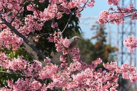 2014.03.24 ズーラシア オカメザクラにヒヨドリ