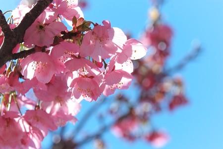 2014.03.31 和泉川 カワズザクラ