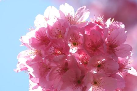 2014.04.07 和泉川 カワズザクラ