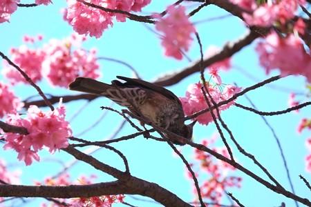 2014.04.07 和泉川 カワズザクラにヒヨドリ