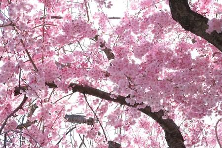 2014.04.08 和泉川 シダレザクラ 満開