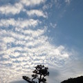 Photos: 松とウロコ雲