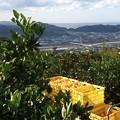 Photos: 有田みかんの収穫1