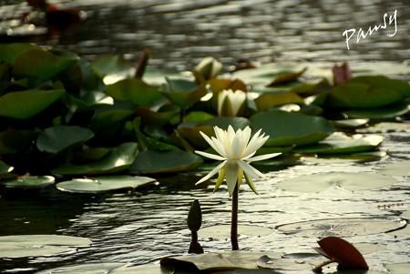 睡蓮の池・・1