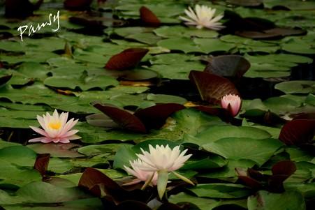睡蓮の池・・3
