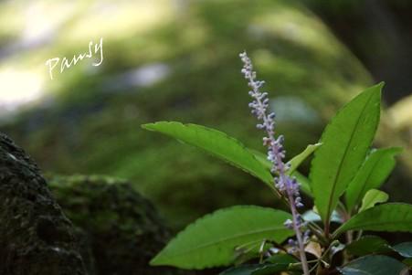 ヤブランの花・・報国寺・・26