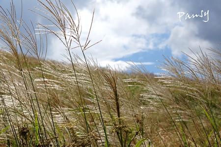 仙石原すすき草原・・6