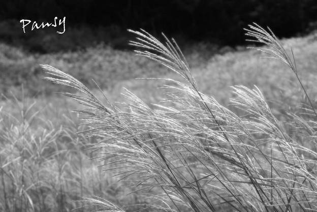 仙石原すすき草原・・9