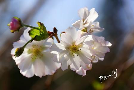 10月桜・・