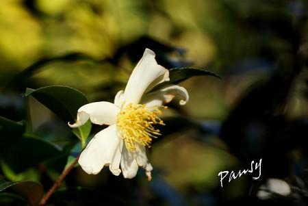 白い山茶花・・