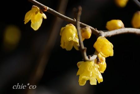 咲きはじめのロウバイ・・2