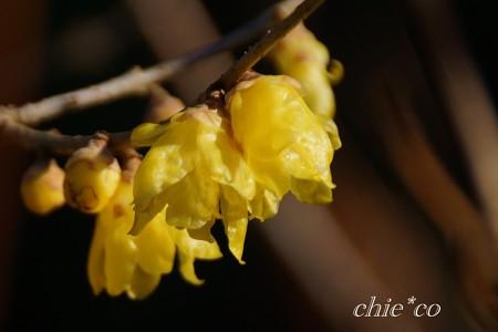 咲きはじめのロウバイ・・3