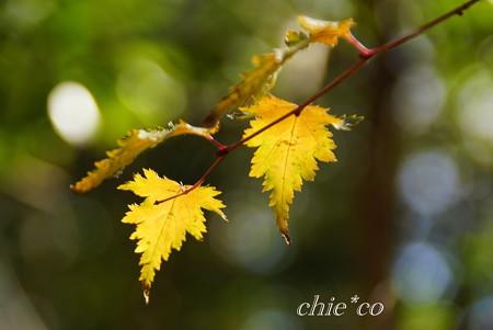 小米空木(こごめうつぎ)の葉・・