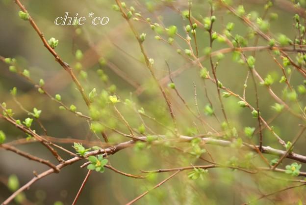 写真: 芽吹き・・