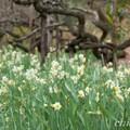 写真: 水仙の群れ・・