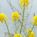 写真: 菜の花。。
