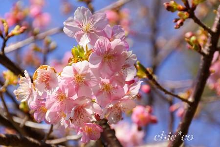 河津桜・・